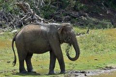 Słonia opryskiwania woda na ja i brud Zdjęcie Royalty Free