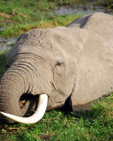 słonia pasanie Fotografia Royalty Free