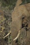 słonia portret Zdjęcie Royalty Free