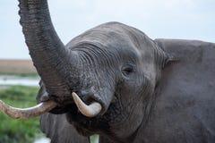 Słonia portret Zdjęcia Stock