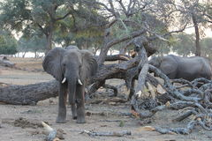 Słonia spojrzenie Obrazy Royalty Free