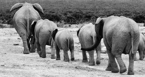 słonia stado Obraz Royalty Free