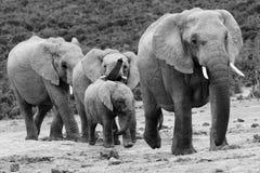 słonia stado Obrazy Royalty Free