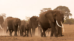 słonia stado Zdjęcia Royalty Free