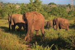 Słonia stado w Udavalave park narodowy Fotografia Stock