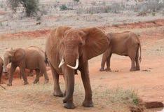 Słonia stojak - daleko Obraz Royalty Free