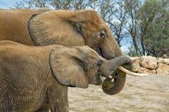 słonie Fotografia Royalty Free