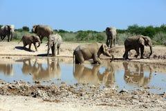 słonie Zdjęcia Stock