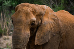 słonie Obraz Stock