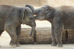 Słonie dotyka each inny delikatnie Zdjęcia Royalty Free