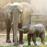 słonie dwa obrazy stock