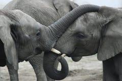 słonie dwa Obrazy Royalty Free