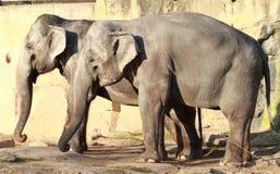 słonie dwa Obraz Royalty Free