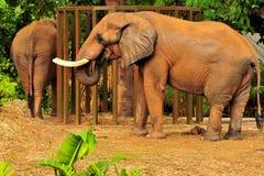 słonie dwa Zdjęcia Royalty Free