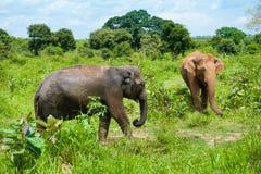 słonie dzicy dwa Obrazy Royalty Free