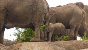 Słonie i kamienie Zdjęcia Royalty Free