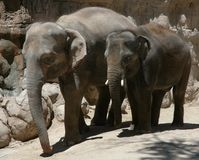 słonie indyjscy Zdjęcia Royalty Free
