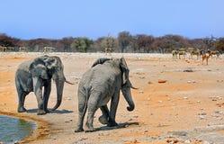 Słonie na etosha równinach Zdjęcie Royalty Free