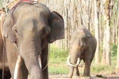 Słonie na gumowego drzewa plantaci Zdjęcia Stock