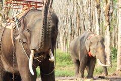 Słonie na gumowego drzewa plantaci Obrazy Royalty Free