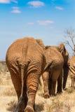 Słonie na Savana Obraz Stock