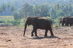 Słonie na spacerze Zdjęcie Royalty Free