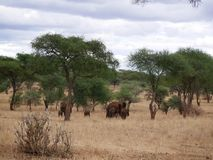 Słonie na Tarangiri-Ngorongoro safari w Afryka Obraz Royalty Free