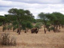 Słonie na Tarangiri-Ngorongoro safari w Afryka Zdjęcia Royalty Free