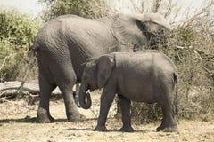 słonie Namibia dwa Zdjęcia Royalty Free