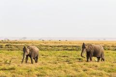 Słonie od Amboseli Kenja, Afryka Fotografia Royalty Free