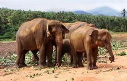 Słonie Pinnawela Zdjęcia Stock