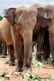 Słonie Pinnawela Fotografia Royalty Free