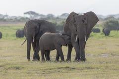 Słonie przy Amboseli parkiem narodowym obraz royalty free