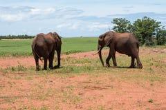 Słonie przy Matusadona parkiem narodowym obraz royalty free