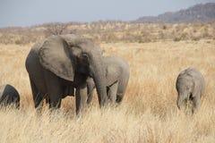 Słonie przy Ruaha parkiem narodowym, Tanzania wschód Afryka Zdjęcie Royalty Free