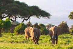 Słonie rodzinni w Amboseli Kenja Obrazy Royalty Free