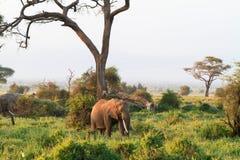 słonie Sawanna Amboseli Kenja, Kilimanjaro góra Zdjęcia Stock
