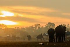 Słonie Uczciwi przy Surin, Tajlandia Zdjęcia Stock