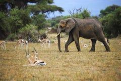 Słonie w Amboseli park narodowy Zdjęcia Royalty Free