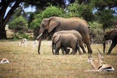 Słonie w Amboseli park narodowy Fotografia Stock