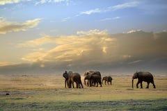 Słonie w Amboseli park narodowy Obraz Royalty Free