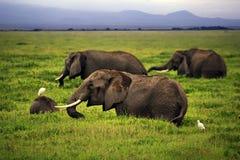 Słonie w Amboseli park narodowy Obraz Stock