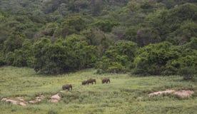 Słonie w Azhiyar przyrody sanktuarium Zdjęcia Stock