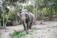 Słonie w dzikim Chang mai, Tajlandia obraz stock