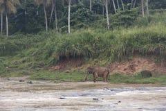 Słonie w orphenage w Sri Lanka zdjęcie stock