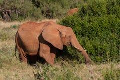 Słonie w savana Obraz Royalty Free