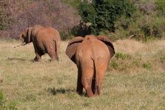 Słonie w savana Fotografia Royalty Free