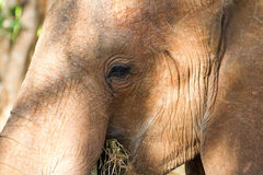 Słonie w savana Obrazy Royalty Free