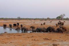 Słonie w sawannie Zimbabwe fotografia royalty free