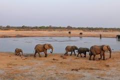 Słonie w sawannie Zimbabwe zdjęcia royalty free